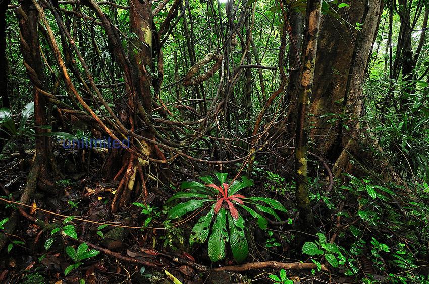 Tropical rainforest with numerous lianas or vines in Masoala National Park, Madagascar