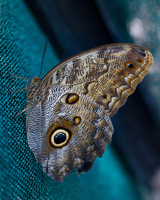 "A close up Dorsal of the Cream-strped Owl resting on a turquoise mesh curtain in a Butterfly Garden in Costa Rica. The butterfly's multi-segmented eye, antennae and blue, cream and brown markings stand out against the background and the blue ""owl eye"" shows beautifully."