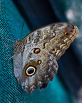 """A close up Dorsal of the Cream-strped Owl resting on a turquoise mesh curtain in a Butterfly Garden in Costa Rica. The butterfly's multi-segmented eye, antennae and blue, cream and brown markings stand out against the background and the blue """"owl eye"""" shows beautifully."""