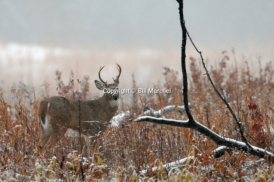 00274-312.17 White-tailed Deer Buck (DIGITAL) pauses while feeding on goldenrod in large meadow during a late fall snow storm.  Hunt.  H3R1