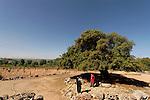 Judea, Kermes Oak (Quercus Caliprinos) in Gush Etzion