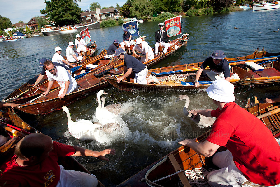 Mcc0024313 . Daily Telegraph<br /> <br /> Swan Uppers surround Swans with their skiffs before closing in to handle them.<br /> <br /> Swan Upping on the river Thames between Shepperton Lock and Windsor. In the third week of July each year Swan Uppers travelling in six wooden Skiffs travel the 79 miles of the River Thames to count, weigh and check the health of Swans and their cygnets. <br /> <br /> The River Thames 19 July 2010<br /> <br /> <br /> <br /> <br /> <br /> <br /> <br /> <br /> <br /> <br /> <br /> Not Getty<br /> Not Reuters<br /> Not AP<br /> Not Reuters<br /> Not PA