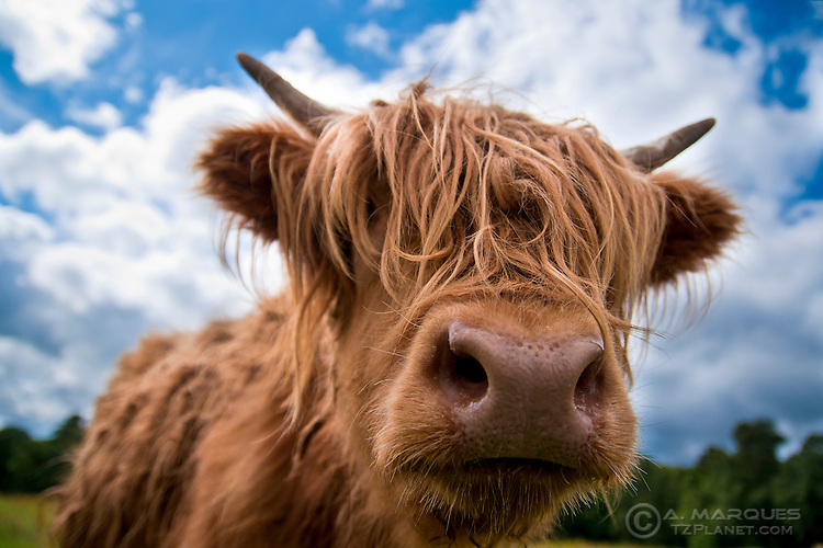A young Highland Cow (kyloe) on a field near Loch Lommond, Scotland..This breed of cattle is characterized by their reddish long wavy coats and long horns (when adult), giving them a rugged albeit funny look. .Highland cows can be found all over Scotland, but in higher numbers in the Scottish Highlands and Western Isles of Scotland.