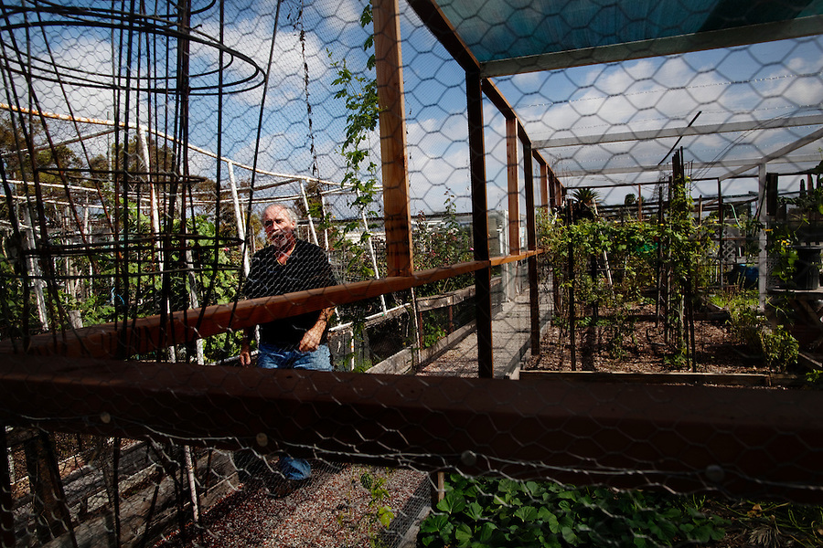 """Laguna Woods, California, October, 26, 2010 - Lonnie Painter seen through the fences that protect the private gardens Laguna Woods Community Gardens. He has been a resident of Laguna Woods Village for the past eleven years and is also the head of the 100-member marijuana dispensary there named Laguna Woods for Medical Cannabis. """"We do this by the book, to the letter of the law. We are not potheads. We are people with legitimate medical needs."""" said Painter. Despite their best efforts, the group has faced some challenges recently. The board that oversees the community recently banned the growing of marijuana in the community gardens, despite the fact that each person has their own fenced and locked garden and the entire compound is surrounded by a chain-linked fence with barbed-wire. """"It's just an excuse to shut this down by a few misguided people,"""" says Painter. """"We are all volunteers on the board here. We do this to try to help people in need."""" Indeed, many of the purported health benefits of marijuana target problems that typically plague older people, such as chronic shingles, arthritis pain, and symptoms of multiple sclerosis and cancer, such as loss of appetite, chronic pain and nausea. California's Compassionate Use Act, passed in 1996, allows people with a prescription to use and cultivate medicinal marijuana. ."""