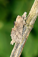 Pale Prominent Pterostoma palpina Length 30mm. A distinctive, elongated moth that resembles a fragment of wood. Adult has pale greyish-buff forewings; seen sideways on it has prominences along the back, palps that project at head end, and a projecting tufted tip to the abdomen. Double-brooded in the south: flies May–June, and again in August. Larva feeds on sallows and Aspen. Widespread and common in southern and central England and Wales; more local further north.