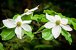 Dogwood flowers, Prospect Falls State Scenic Viewpoint,  along the Rogue River, Ore.