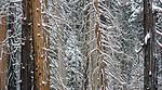 USA, California, Yosemite National Park, snowy forest, winter scenic