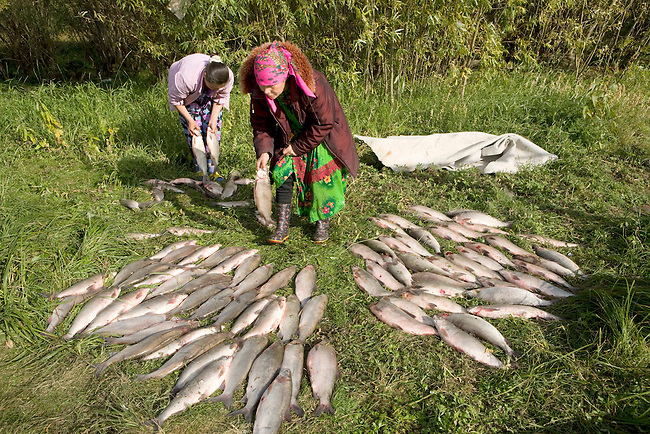 Lidiya Tokhma & her daughter Yulia, Khanty women, sort a catch of Broad Whitefish at a camp on the River Ob. Yamal, Western Siberia, Russia