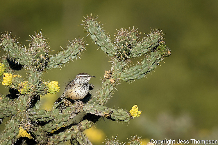 Cactus Wren, Davis Mountains, Fort Davis, TX
