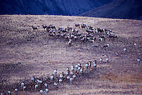 California Bighorn Sheep (Ovis canadensis sierrae) Herd in the Junction Wildlife Management Area, Cariboo Chilcotin Region, BC, British Columbia, Canada