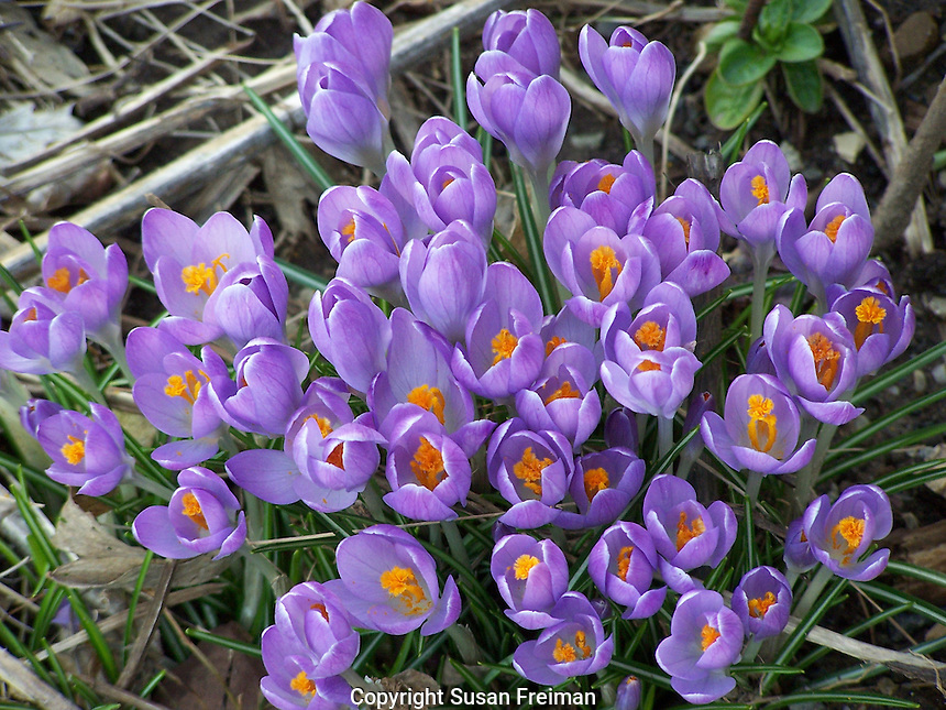 early spring flowers, crocus, Joan Gussow's garaden, Piermont, NY