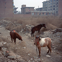Ponies graze outside a local residential block at the old city area of Yuci in Jinzhong City, Shanxi province, 2012. (Mamiya 6, 75mm f3.5, Kodak Ektar 160 film)