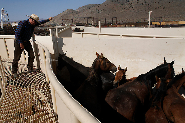 Nearly 900 wild horses brought in from the Jackson Mountains are processed at Palomino Valley holding facility.  Horses that are sorted into mares and foals, stallions and then given vaccinations and a freeze brand. Cary Frost, a BLM wrangler moves horses through the chute to be worked on.