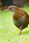 Weka (Gallirallus australis), Kapiti Island, North Island, New Zealand
