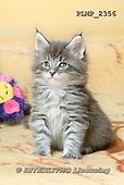 Marek, ANIMALS, REALISTISCHE TIERE, ANIMALES REALISTICOS, cats, photos+++++,PLMP2356,#a#