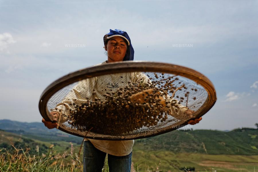 Bresil, etat Minas Gerais, Pocos de Caldas, fazenda (ferme) de cafe Recreio, 1er novembre 2012.<br /> <br /> La ferme Recreio est membre du programme Nespresso AAA. <br /> Luciene Veiga, ouvriere agricole, tamise les rameaux de cafeiers coupes afin de ne conserver que les cerises de cafe.<br /> Le tamis sert a separer les cerises des feuilles. En le secouant energiquement, ces dernieres plus legeres tombent par terre, alors que les cerises retombent, elles, sur le tamis.<br /> Reportage les Chants de cafe_soul of coffee, realise sur les acteurs terrain du programme de developpement durable Triple AAA de Nespresso.<br /> <br /> Brazil, Minas Gerais, Pocos de Caldas, Fazenda (coffee farm) of Recreio, November 1, 2012 <br /> <br /> Recreio&rsquo;s farm is a member of the Nespresso AAA program. <br /> Luciene Veiga, a farm laborer, sifts the cut branches from the coffee trees, using a sieve, to end up only with the coffee cherries. The sieve is used to separate the cherries from the leaves. By shaking it rigorously, the light leaves fall to the ground, while the cherries remain on the screen.  <br /> Assignment: les Chants de cafe_ Soul of Coffee, implemented on the fields of Nespresso&rsquo;s AAA Sustainable Quality Program.