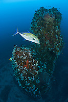 A Blue-fin Trevally, Caranx melampygus, patrols near a massive pinnacle on a deep slope at Narcondam Island, Andaman Islands, Andaman Sea, India