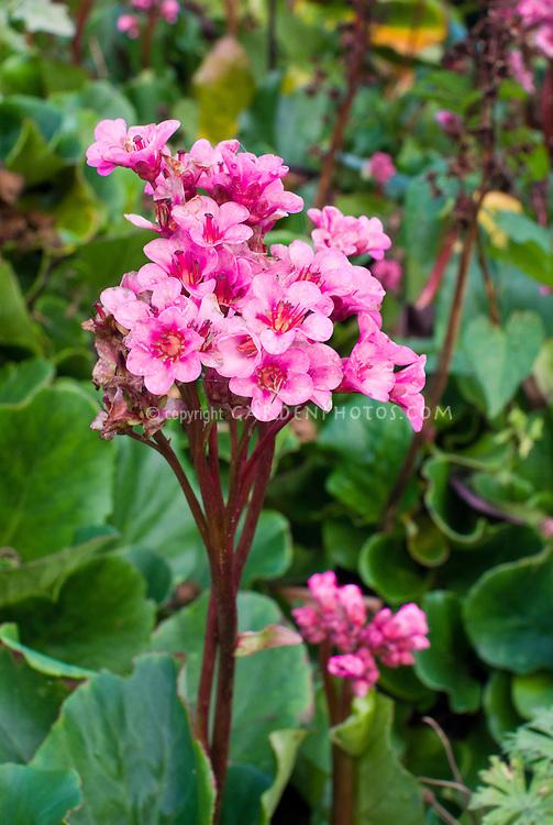 Bergenia Bressingham Ruby in flower bloom