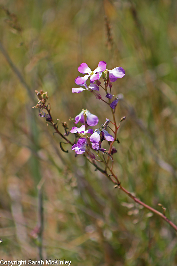 Purple wild radish blossoms on a stem cutting diagonally across the scene.