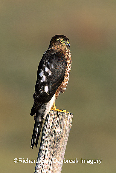 00787-001.14 Sharp-shinned Hawk (Accipiter striatus) immature female on fence post   CO