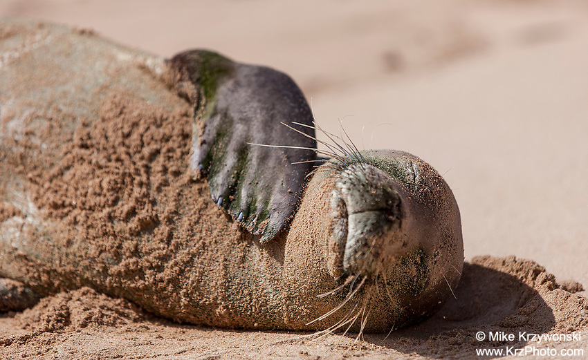 Hawaiian monk seal sleeping on the beach, Gillin's Beach, south shore of Kauai