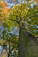 Autumn Beech, Stoke Wood, Oxfordshire