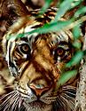 Bengal tiger emerging from vegetation {Panthera t tigris} Bandhavgarh NP, India