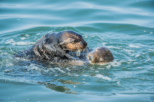 Two Southern Sea Otters (Enhydra lutris nereis)--courtship behavior.  Central California Coast.  This could be two otters playing or greeting eachother, but more likely is a male and female where the male is checking out whether the female is ready to mate.
