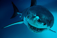 Great White Shark, Carcharodon carcharias. South Australia