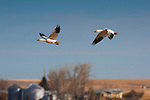 The grain fields near Freezeout Wildlife area attract Snow Geese by the thousands on their migration through Montana every spring