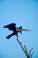 506000007 a wild anhinga anhinga anhinga stretches while perched on a dead tree branch on a private ranch in tamaulipas state mexico