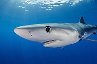 WQ1519-D. The Blue Shark (Prionace glauca) is found throughout tropical and temperate seas worldwide, primarily in the open ocean, from the surface to over 700 feet deep. It grows to over 12 feet long and feeds on squid, schooling bony fish like anchovies and sardines, and also on krill. Large eyes, long pectoral fins, long pointed nose, sleek body and metallic blue to silver gray skin color help to identify it. Azores, Portugal, Atlantic Ocean. <br /> Photo Copyright © Brandon Cole. All rights reserved worldwide.  www.brandoncole.com