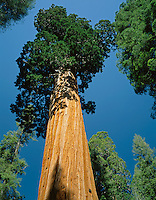 Kings Canyon National Park, CA<br /> Giant Sequoia (Sequoiadendron giganteum) known as the Oregon Tree in the General Grant Grove