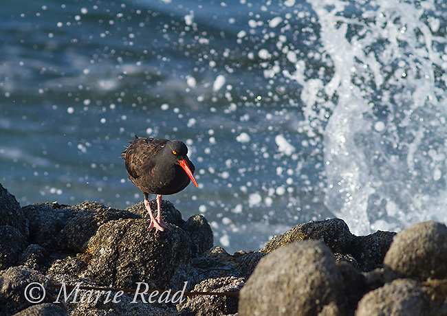 Black Oystercatcher (Haematopus bachmani), on a rock with crashing wave, Point Pinos, Monterey, California