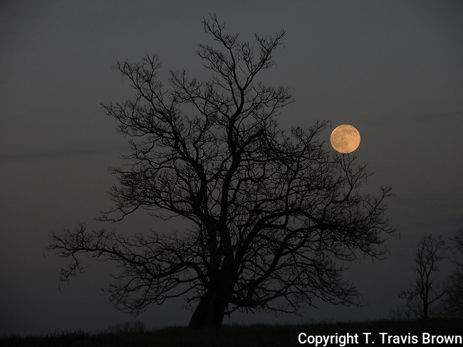 Lone Catalpa with Full Moon
