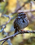 Song sparrow, Melospiza melodia, California