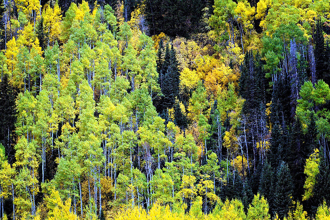 Early autumn aspen trees in Rocky Mountain National Park