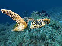 Swimming hawksbill turtle, Eretmochelys imbricata, Fury Shoals, Egypt, Red Sea