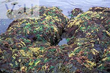 Kelp beds, Alaska variety of species, USA