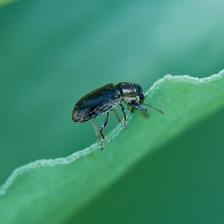 A pea and bean weevil (Sitona lineatus) on a broad-bean leaf, early June.