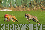 Tarbert dog Naughty Lady(white) beats Gaisce Mor(Red) in The Stockproof Fencing Kitty Butler Stake at the National Coursing Meeting in Clonmel on Wednesday.
