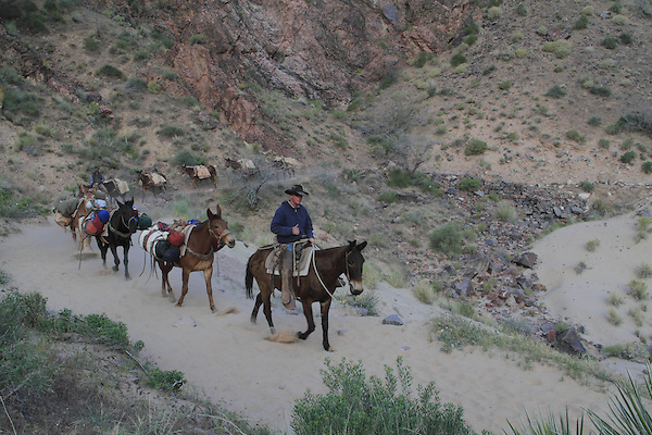 Cowboys lead a pack mule train on the Bright Angel Trail along the Colorado River, near Phantom Ranch Campground, Grand Canyon National Park, northern Arizona, USA . John offers private photo tours in Grand Canyon National Park and throughout Arizona, Utah and Colorado. Year-round.