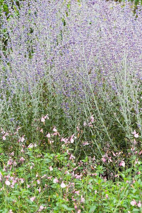 Pale pink Salvia and Perovskia 'Blue Spire', early September.
