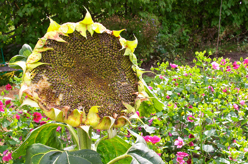 A big sunflower flower in The herbal garden with plants typical for Linnaeus time. The farm at Rashult where Linnaeus was born. Smaland region. Sweden, Europe.