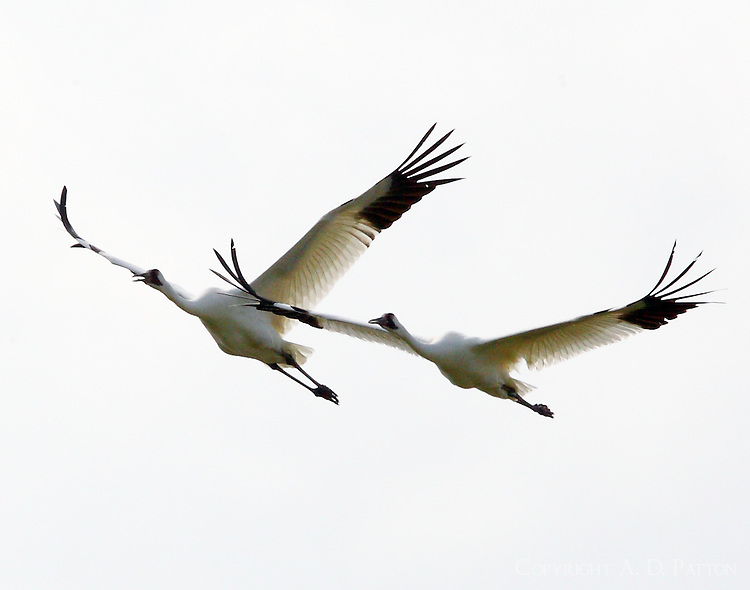 Whooping crane pair whooping as they fly