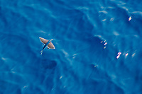flying fish, flying, Family: Exocoetidae, Australia, Atlantic Ocean