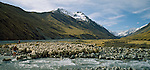 Merino sheep crossing river on Braemar Station. Mackenzie Country. Canterbury Region. New Zealand.