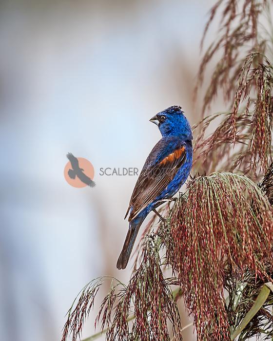 Male Blue Grosbeak looking over shoulder, perched in reeds