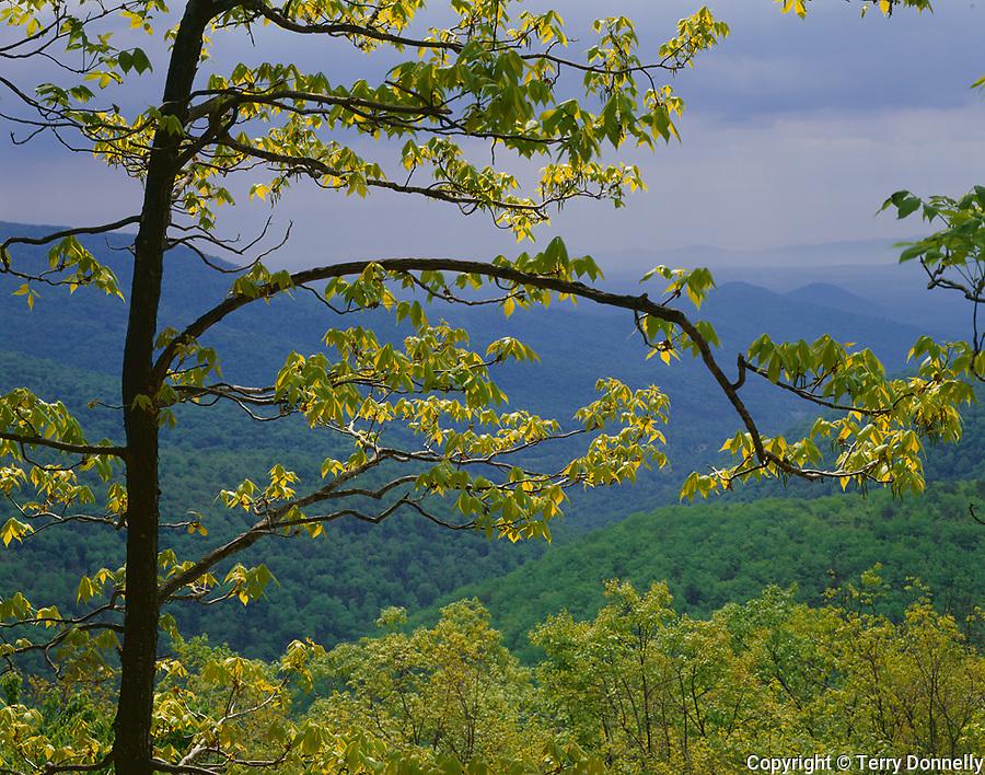 Shennandoah National Park, VA:  View of hazy Blue Ridge mountains framed by young hickory tree