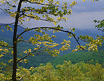 Shennandoah National Park, VA:  View of hazy Blue Ridge mountains framed by young hickory tree